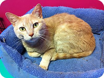 Domestic Shorthair Cat for adoption in Topeka, Kansas - Buffy