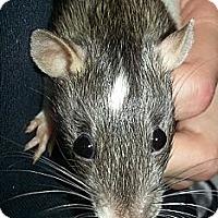 Adopt A Pet :: Agouti Front - Lakewood, WA