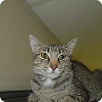Adopt A Pet :: Mittens - Medina, OH
