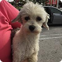 Adopt A Pet :: Holly - Havanese - St. Petersburg, FL