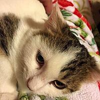 Domestic Mediumhair Cat for adoption in Wichita Falls, Texas - Taurus