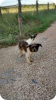 Shih Tzu/Chihuahua Mix Dog for adoption in Buchanan Dam, Texas - Jack and Jill