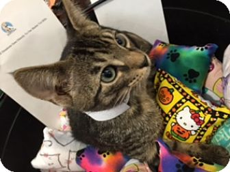 Domestic Shorthair Kitten for adoption in Spring Brook, New York - Barker