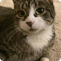 Domestic Shorthair Cat for adoption in Colfax, Iowa - Daisy