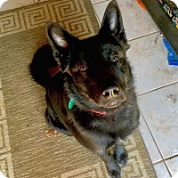 German Shepherd Dog/Border Collie Mix Dog for adoption in Columbus, Ohio - Milo