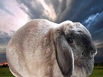 Lop, French for adoption in Fairfield, California - ANA