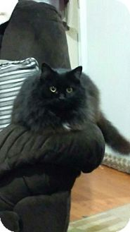 Domestic Mediumhair Cat for adoption in New Martinsville, West Virginia - Allie Kat