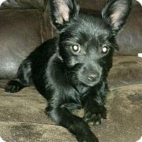 Adopt A Pet :: Little Bear - Harrisonburg, VA