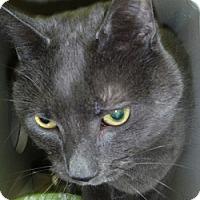 Adopt A Pet :: Chairman Chow - Hamburg, NY