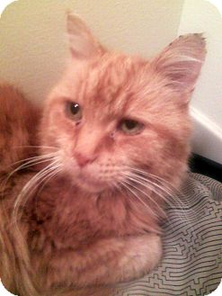 Domestic Shorthair Cat for adoption in Troy, Michigan - Moseby