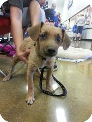 Dachshund/Terrier (Unknown Type, Small) Mix Puppy for adoption in Las Vegas, Nevada - Luke