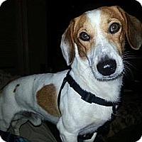 Adopt A Pet :: Jaxx - Scottsdale, AZ