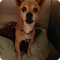 Shiba Inu/Chihuahua Mix Dog for adoption in Tustin, California - Phoenix