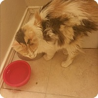 Domestic Longhair Cat for adoption in Keller, Texas - Portia