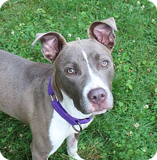 Labrador Retriever/Pit Bull Terrier Mix Dog for adoption in Bergen County, New Jersey - Faith