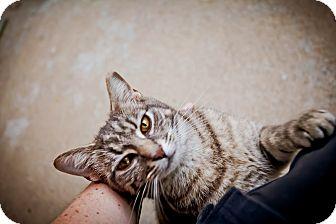 Domestic Shorthair Cat for adoption in Virginia Beach, Virginia - Luna