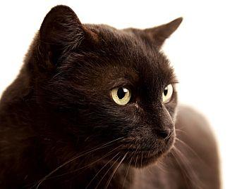Domestic Shorthair Cat for adoption in Chaska, Minnesota - Victor