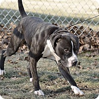 Pit Bull Terrier Dog for adoption in Van Wert, Ohio - Ajax
