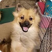 Adopt A Pet :: Stickerpants - conroe, TX