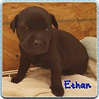 Adopt A Pet :: Ethan - Jay, NY