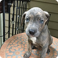 Adopt A Pet :: Oreo - Houston, TX