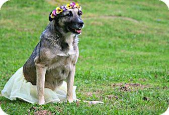 Norwegian Elkhound/Shepherd (Unknown Type) Mix Dog for adoption in Blakeslee, Pennsylvania - Raleigh (COURTESY)
