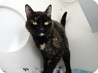 Domestic Shorthair Cat for adoption in Mission Viejo, California - Termite