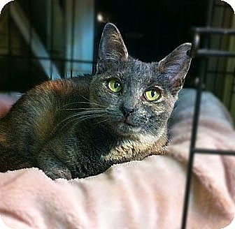 Domestic Shorthair Cat for adoption in Long Beach, California - Molly