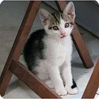 Adopt A Pet :: Cricket - Port Republic, MD
