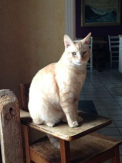 Domestic Shorthair Cat for adoption in Napa, California - Smokey