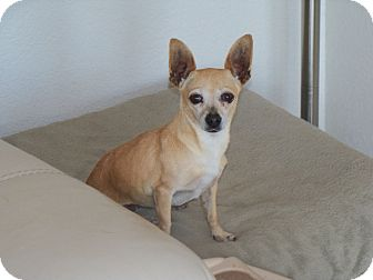 Chihuahua Dog for adoption in Apache Junction, Arizona - Winnie