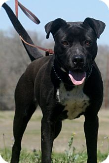 Blue Lacy/Texas Lacy/Hound (Unknown Type) Mix Dog for adoption in Seguin, Texas - Anna