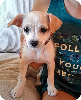 Chihuahua/Terrier (Unknown Type, Medium) Mix Puppy for adoption in New York, New York - Gill