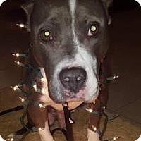 Adopt A Pet :: Blue - Jefferson, GA