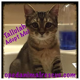 Domestic Shorthair Cat for adoption in Christiana, Tennessee - Tallulah