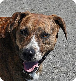 Labrador Retriever/Boxer Mix Dog for adoption in Beebe, Arkansas - Killey