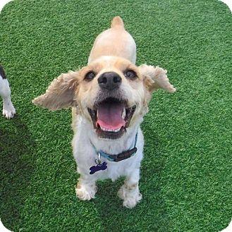 Cocker Spaniel Dog for adoption in Sherman Oaks, California - McKenna