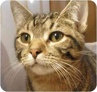 Domestic Shorthair Cat for adoption in Stanhope, New Jersey - Wendell