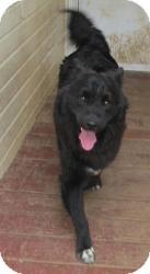 Border Collie Mix Dog for adoption in Overland Park, Kansas - toby