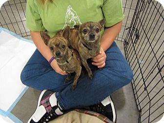 Chihuahua Mix Dog for adoption in Bellingham, Washington - Monte & Marley