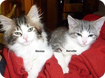 Domestic Shorthair Kitten for adoption in Portland, Oregon - Nanette