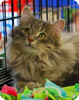 Domestic Longhair Kitten for adoption in Merrifield, Virginia - Henry