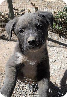 German Shepherd Dog/Labrador Retriever Mix Puppy for adoption in dewey, Arizona - Tillie