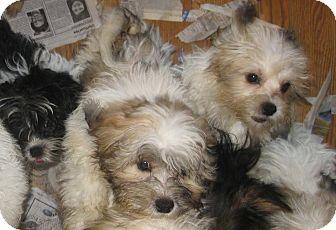 Shih Tzu/Bichon Frise Mix Puppy for adoption in Prole, Iowa - Puppies