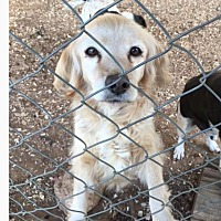 Adopt A Pet :: Buffy - Marion, NC