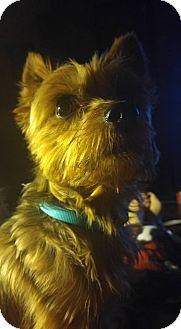 Yorkie, Yorkshire Terrier Dog for adoption in Suwanee, Georgia - Maximillian