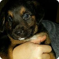 Adopt A Pet :: Weasley - Manassas, VA
