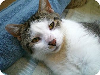 Domestic Shorthair Cat for adoption in Byron Center, Michigan - Katniss