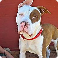 Adopt A Pet :: Oakley-Courtesy Post - Phoenix, AZ