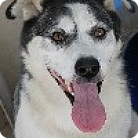 Adopt A Pet :: Sasha - Savannah, MO